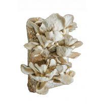 Směs pro pěstování Hlíva ústřičná 15kg (Pleurotus ostreatus)