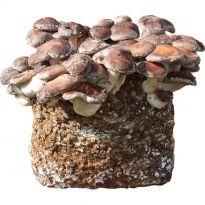 Substrát SHII TAKE - Houževnatec jedlý 3,5kg